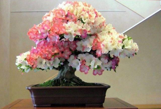 Комнатная азалия: правила ухода в домашних условиях для обеспечения пышного цветения