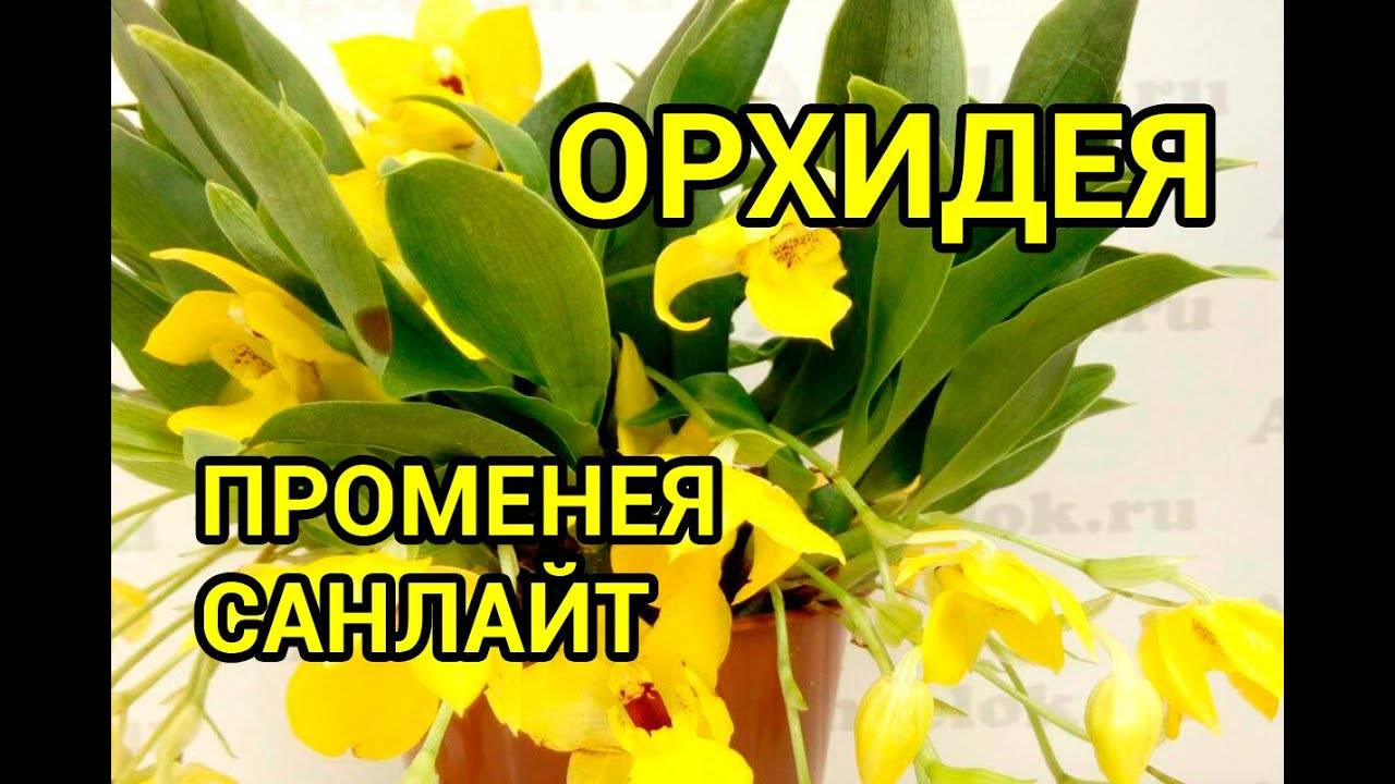 Орхидея масдеваллия