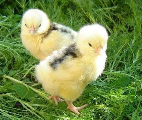 Цыплята клюют друг друга до крови — что делать