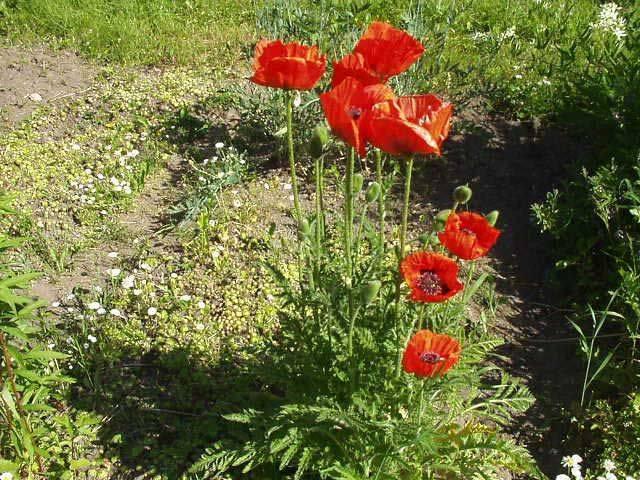 Меконопсис гималайский мак выращивание из семян посадка и уход фото