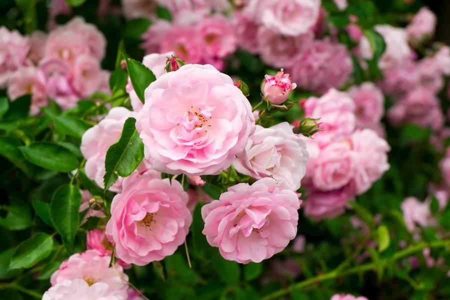 Полиантовые розы: топ-10 сортов полиантовых роз, великолепие которых поражает | огородники