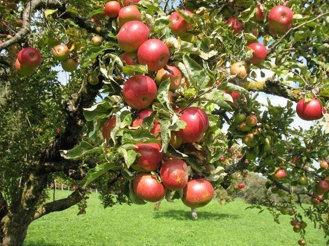 Как посадить колоновидную яблоню саженцами: посадка и уход весной и осенью