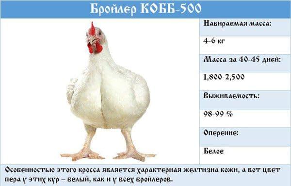 Бройлерная порода росс 308