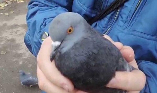 Как поймать голубя - обзор всех способов поимки - домашние наши друзья