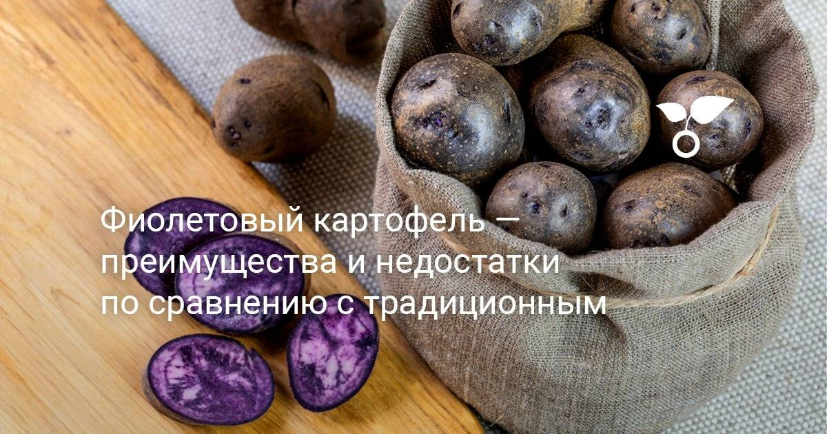 Может ли фиолетовый картофель нанести вред организму и каковы полезные свойства корнеплода?