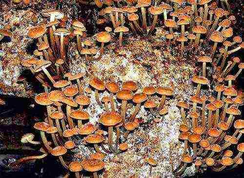 Выращивание опят из мицелия на даче, в домашних условиях: видео для новичков, как выращивать грибы