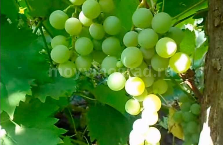 Виноград дружба — рассказываем детально