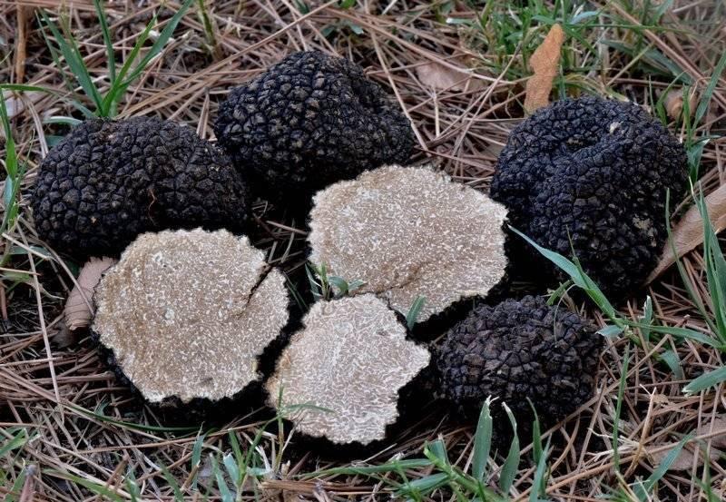 Трюфель: где этот гриб растет в россии, какие бывают разновидности и когда его собирать
