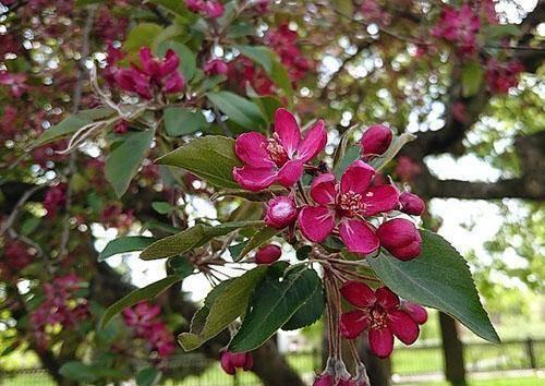 Декоративная яблоня недзвецкого: описание сорта, фото, отзывы