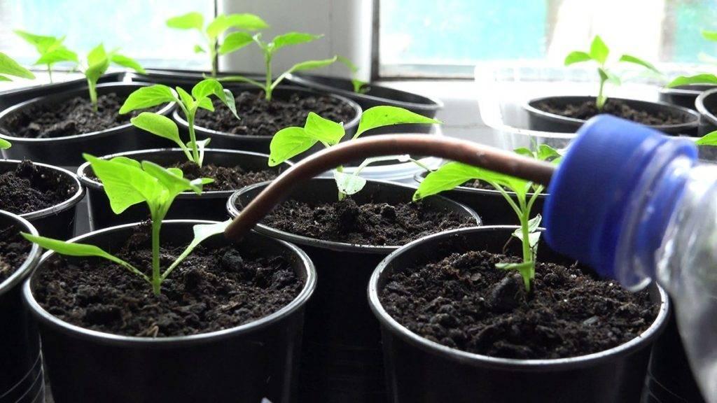 Выращивание рассады перца в домашних условиях: секреты опытных огородников, как правильно вырастить хорошую и здоровую рассаду из семян русский фермер