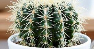 Опунция (49 фото): что это такое? описание видов кактуса опунции мелковолосистая и индийская, уход в домашних условиях