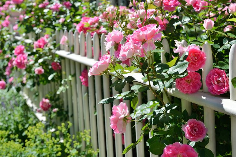 Подкормка роз весной для пышного цветения летом