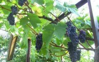 Виноград розовый жемчуг описание сорта фото отзывы