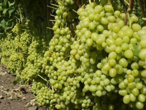 «ландыш» - новейший сорт винограда, который обязательно стоит иметь на своем участке