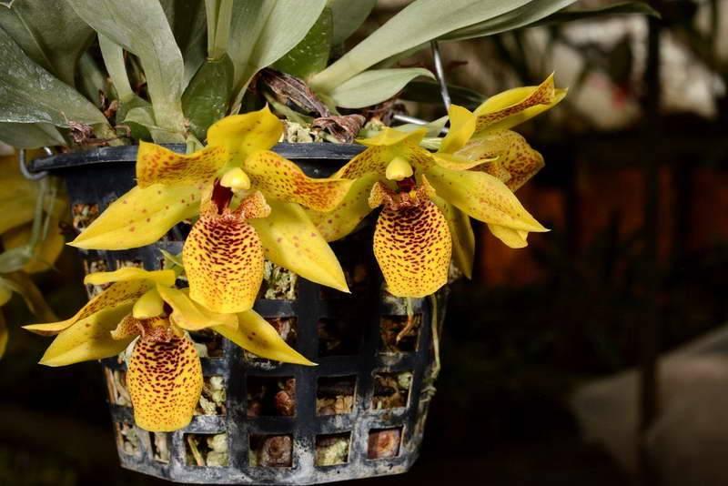 Променея - уход в домашних условиях, фото цветка, размножение