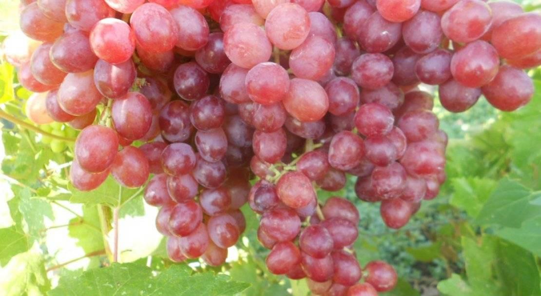 """Виноград """"велес"""": описание сорта, фото, отзывы"""