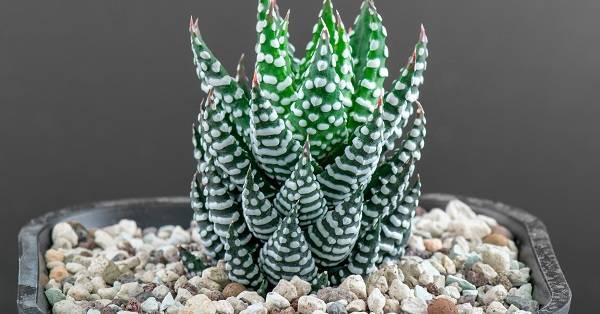 Удивительное растение хавортия: фото цветов и советы по их получению в домашних условиях