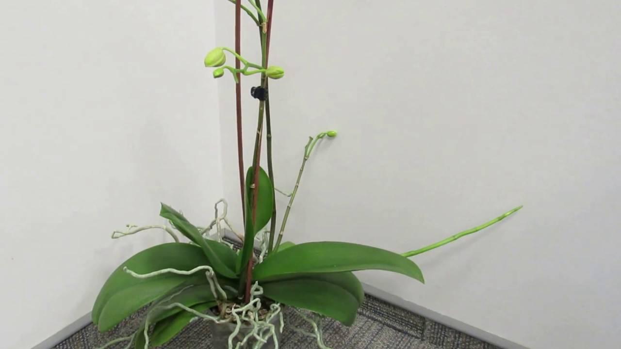 Как понять, почему не цветет орхидея? все возможные причины
