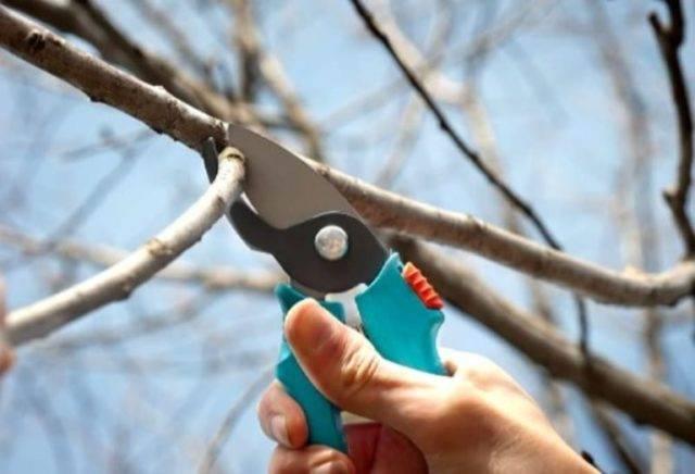 Весенняя обрезка вишни: пошаговые инструкции