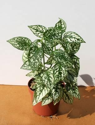 Пестролистные комнатные растения: фото и названия цветов с пятнистыми листьями