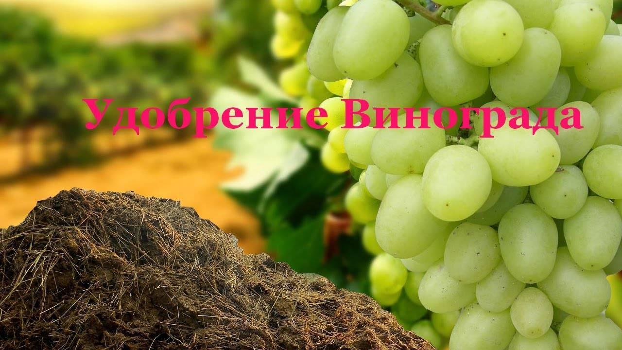 Когда и в какие сроки подкармливать и поливать виноград - vinograd-loza
