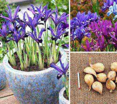 Когда и как пересаживать ирисы весной | садоводство и огородничество