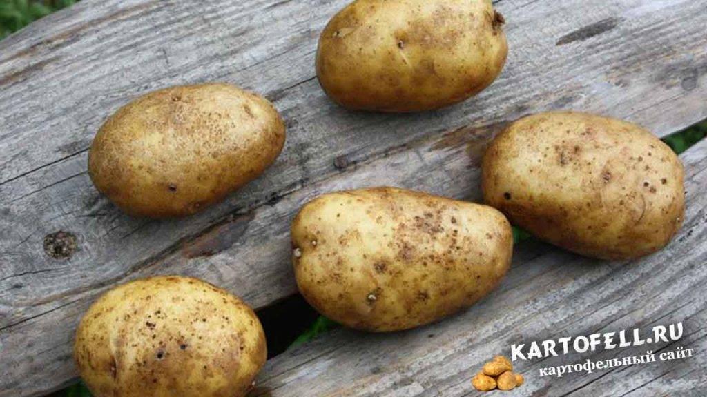 Картофель сказка: описание и характеристика сорта, урожайность, отзывы, фото