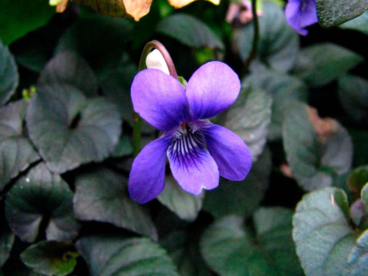 Садовые фиалки (фото) - виды и сорта | сайт о саде, даче и комнатных растениях.