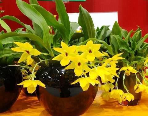 Орхидея плейоне: уход в домашних условиях, пересадка