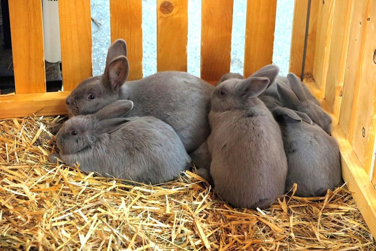 Через сколько дней после окрола можно случать крольчиху: сроки и технологии