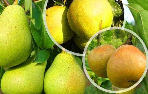 Сорт груши бергамот: описание, фото