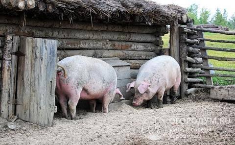 Как построить свинарник на 50 голов, дешево своими руками