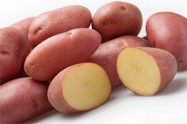 Картофель каратоп: описание сорта, характеристики, особенности хранения, фото
