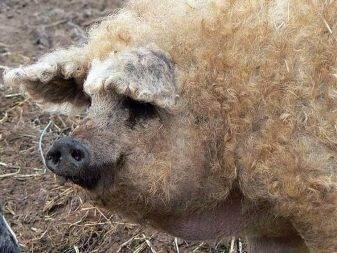 Венгерская мангалица: описание породы, содержание и разведение пуховых свиней, отзывы