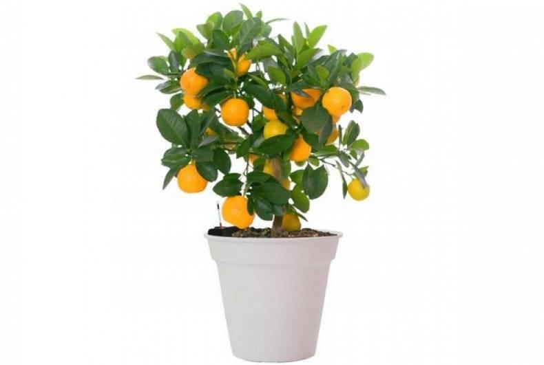 Секреты цитрусовых: как вырастить лимонные, апельсиновые и мандариновые деревья