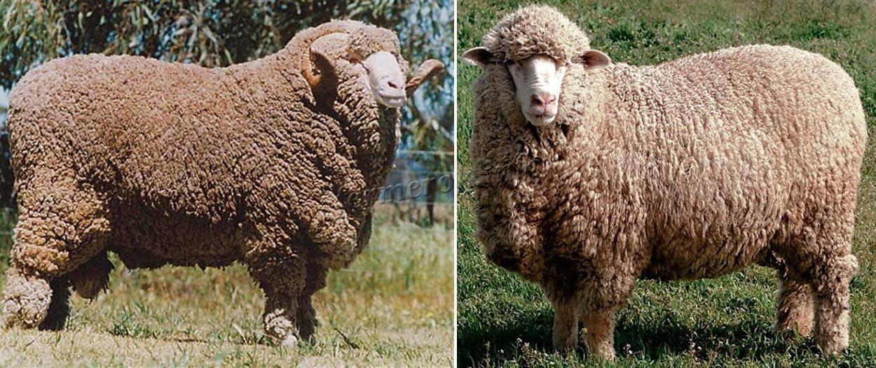 Овцы породы меринос: описание и характеристика, разведение на мясо и шерсть