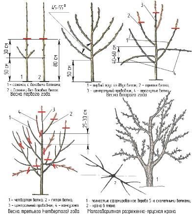 Описание сорта яблони башкирская красавица: фото яблок, важные характеристики, урожайность с дерева