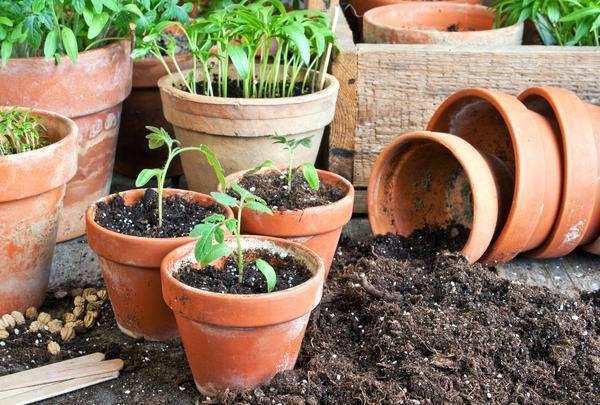Сколько раз пикировать помидоры   вырасти сад!