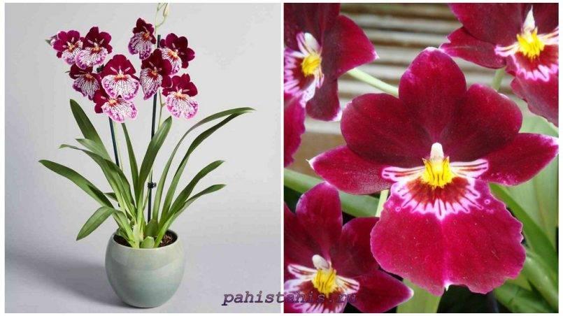 Орхидея мильтония: сорта, секреты ухода, фото и видео