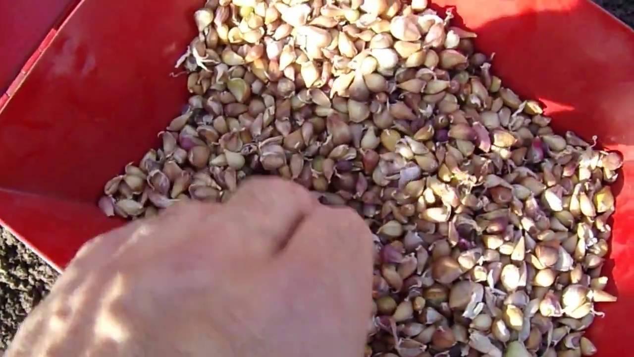 Посадка чеснока бульбочками осенью - выращивание озимого чеснока из бульбочек + видео