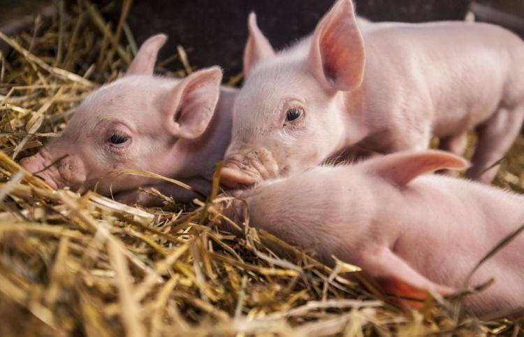 Опорос свиней: календарь в виде таблицы, сроки