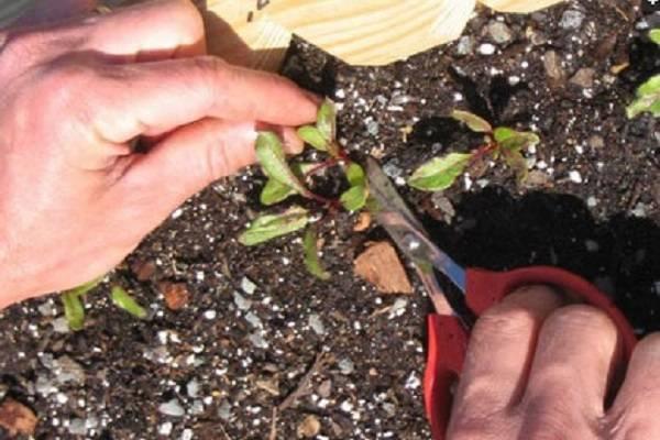 Свекла выращивание и уход в открытом грунте: выбор сорта, сроки посева