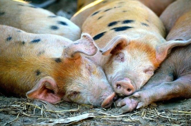 Что будет, если приснилась свинья: трактовка сновидения с поросенком, особенности толкования в разных сонниках
