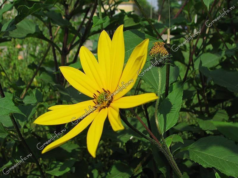Топинамбур: выращивание на огороде, виды и сорта