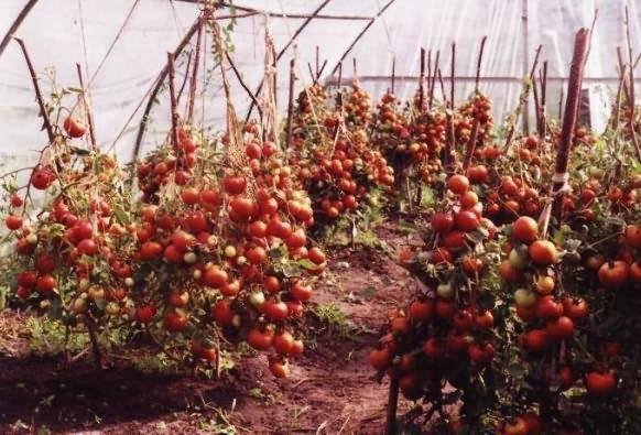 Выращивание помидор в парниках: детальная инструкция