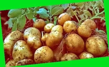 Где можно приобрести картофель сорта сынок? обменяю картофель сынок на другие сорта картофеля. москва, россия. | дачная жизнь