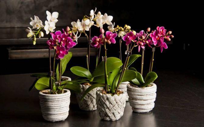 Фаленопсисы в природе: фото, внешний вид дикой орхидеи, ее сравнение с домашней, как и где растет цветок, за что получил определение чуда selo.guru — интернет портал о сельском хозяйстве