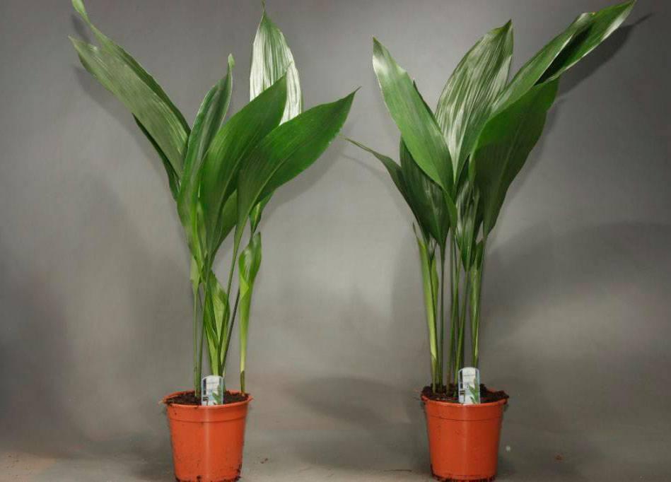 Аспидистра: разновидности с фото, выращивание и уход в домашних условиях, способы размножения
