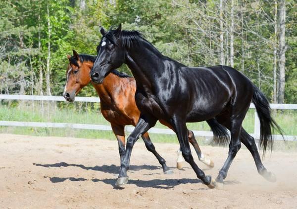 Башкирская порода лошадей характеристики, описаниевыносливые лошади башкирской породывы используете adblocker