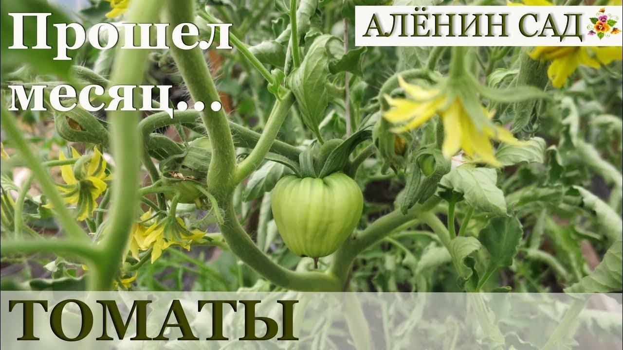 Томат сержант пеппер (sgt pepper): характеристика и описание сорта, фото, отзывы - агрономия